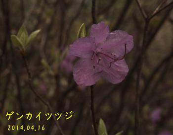 20140416_16ゲンカイツツジ4縮.jpg