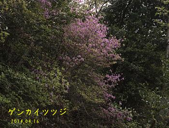 20140416_48ゲンカイツツジ3縮.jpg