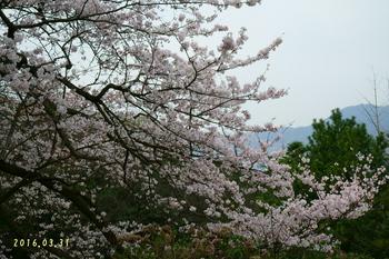 DSC02438桜1.JPG