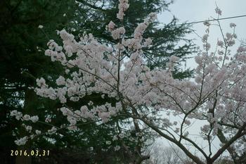 DSC02439桜2.JPG