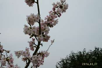 DSC02448桜3.JPG