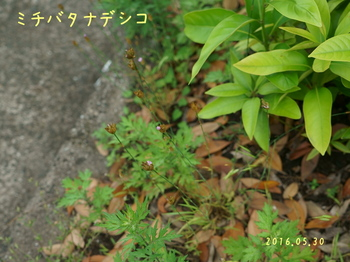DSC03173ミチバタナデシコ3.jpg