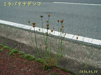 DSC03178ミチバタナデシコ1.jpg