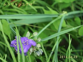 DSC03231ムラサキツユクサ3.JPG