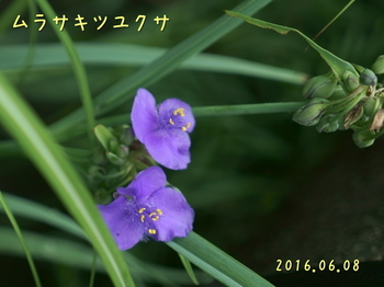DSC03232ムラサキツユクサ4.JPG
