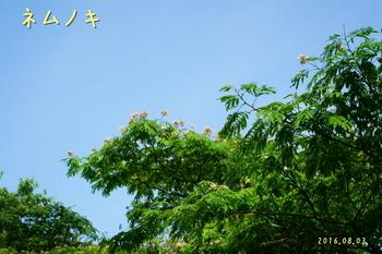 DSC03587ネムノキ1.jpg