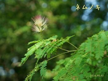 DSC03591ネムノキ2.jpg