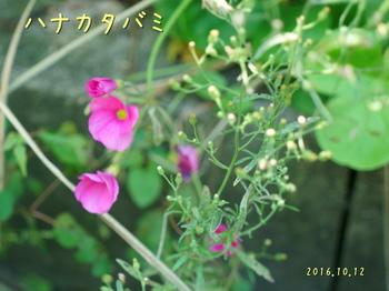 DSC03852ハナカタバミ2.jpg