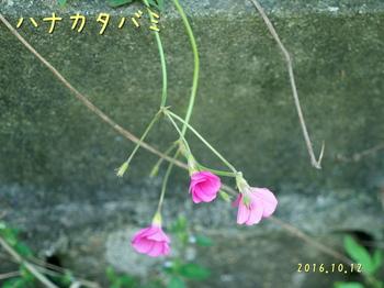 DSC03856ハナカタバミ3.jpg