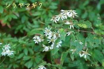 DSC03946シラヤマギク.jpg