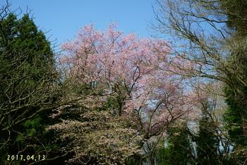 DSC04742桜1.JPG