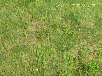 DSC05649シロバナマンテマ1縮.jpg