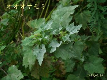 DSC08116オオオナモミ3.JPG