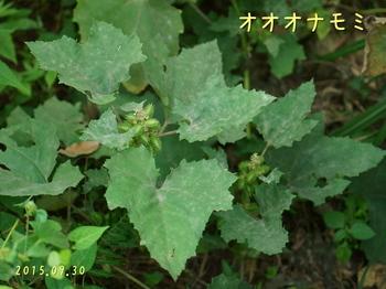 DSC08117オオオナモミ4.JPG