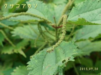 DSC08129クサコアカソ4.JPG