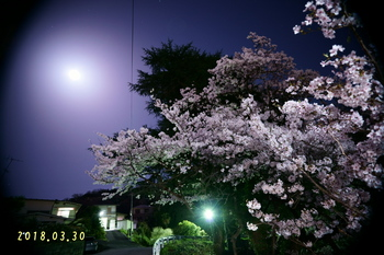 DSC08998家の前の桜2.JPG