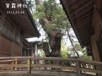 P5041721賀露神社の巨木縮.jpg