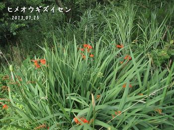 P7253194ヒメオウギズイセン縮.jpg