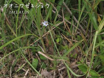 P7253224オオニワゼキショウ縮.jpg