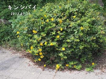 P7253234キンシバイ縮.jpg