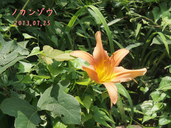 P7253257ノカンゾウ2縮.jpg