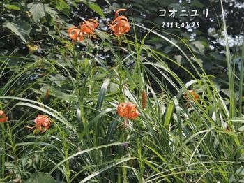 P7253277コオニユリ縮.jpg