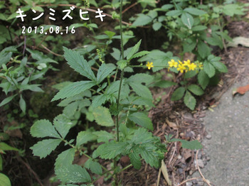 P8163520キンミズヒキ縮.jpg
