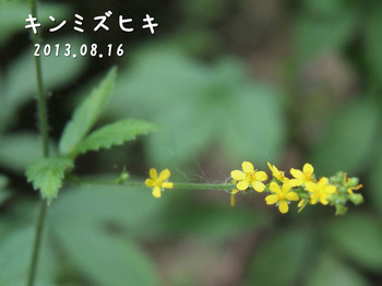 P8163521キンミズヒキ2縮.jpg