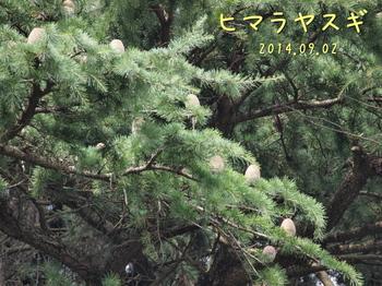 P9027948ヒマラヤスギ3縮.jpg