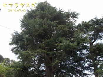 P9027952ヒマラヤスギ2縮.jpg